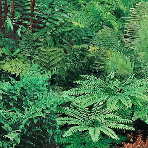 Native Woodland Fern Mix K Van Bourgondien