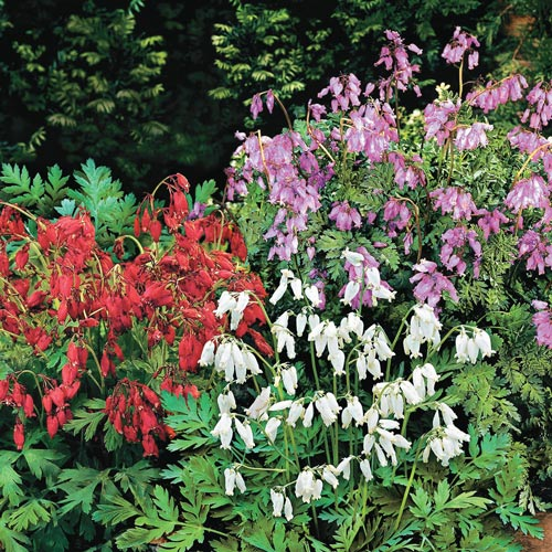 Fernleaf Bleeding Heart Mix (Dicentra eximia & formosa)