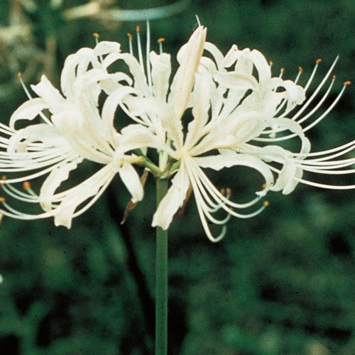 Lycoris albiflora (White Spider Lily)