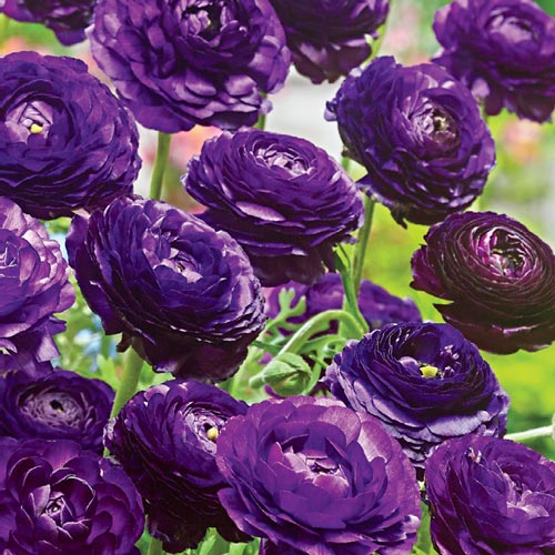 Ranunculus purple sensation k van bourgondiens
