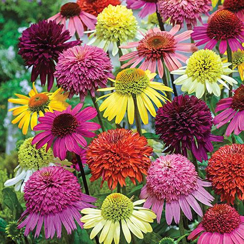 Echinacea Color Showtime Mix K Van Bourgondien