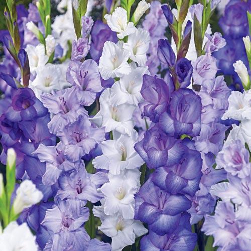 Cool Blue Gladiolus Blend