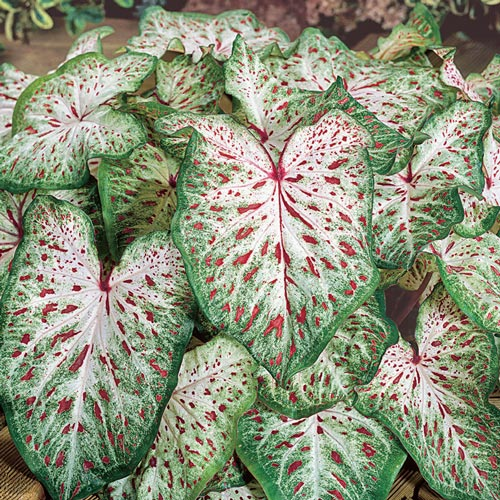Colorful Shade Loving Caladiums Gingerland K Van Bourgondien