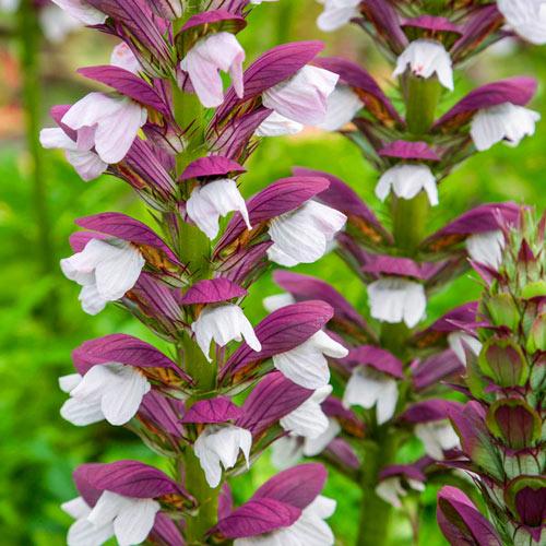 hybrid calla lily aethiopica pink mist k van bourgondien