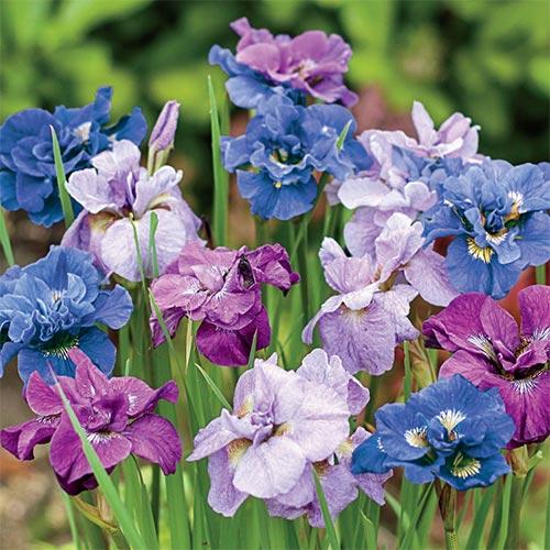 Double Siberian Iris Mix