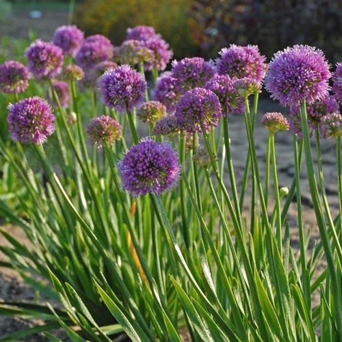 Allium Millenium K Van Bourgondien