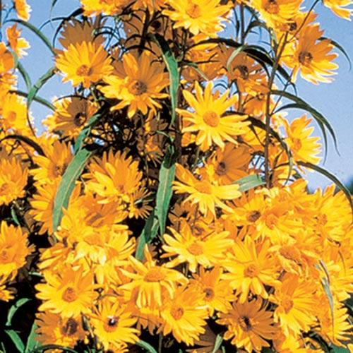 Maximillian Sunflower (Helianthus maximilliani)