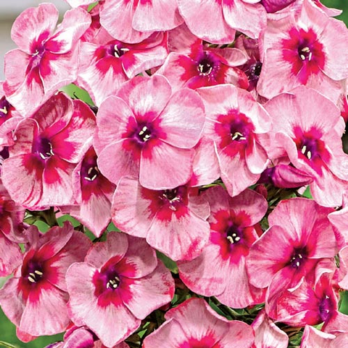 Hardy Tall Phlox Stars and Stripes