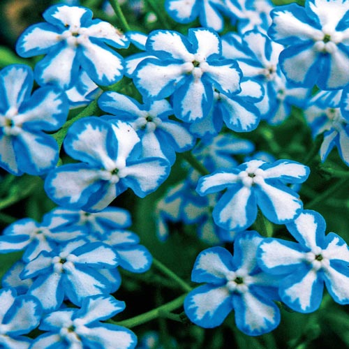 Brunnera Starry Eyes