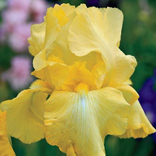 Reblooming German Iris Harvest Of Memories