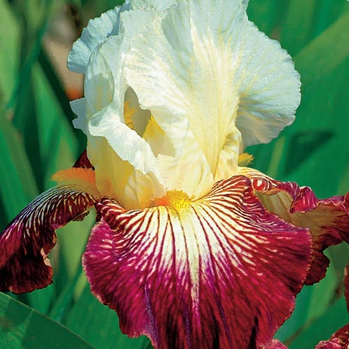 German Iris Color Strokes