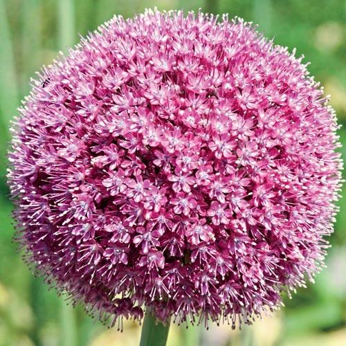 Allium giganteum Twinkling Stars