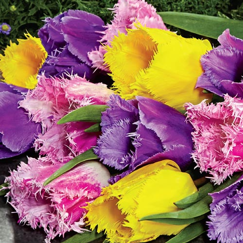 Fringed Tulip Mixture