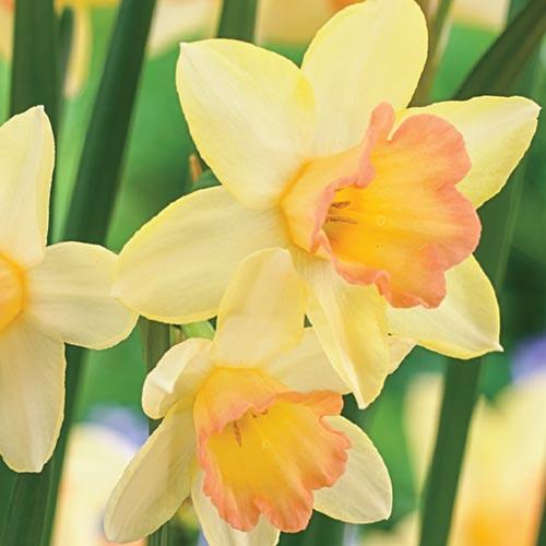 Daffodil Cultivars Blushing Lady K Van Bourgondien