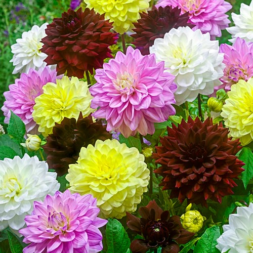 Summer Breeze Dahlia Blend