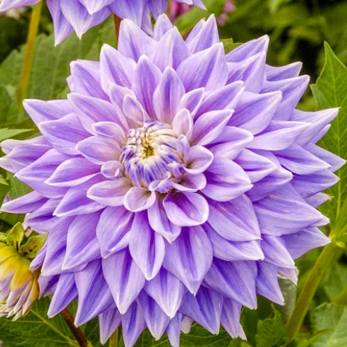 Giant Dinnerplate Dahlia Lilac Time | K. van Bourgondien ...