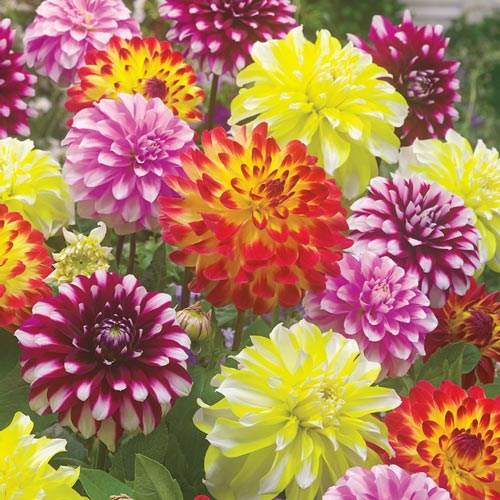 Bicolor Dahlia Blend