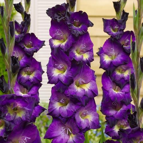 Gladiolus Lola Montez