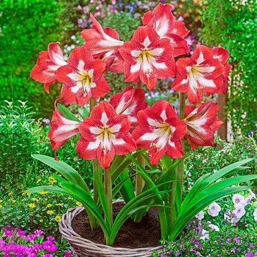 Hardy Garden Amaryllis Eye Catcher K Van Bourgondien