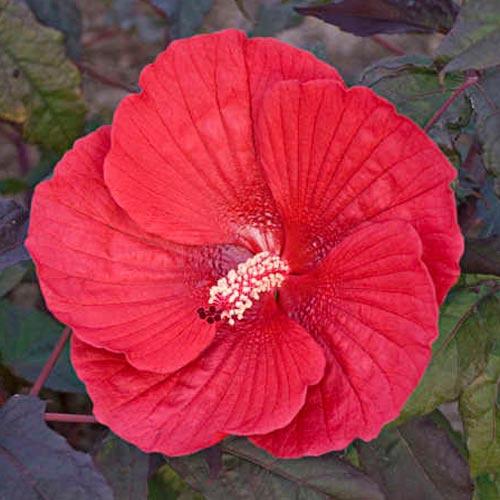 Hibiscus Midnight Marvel K Van Bourgondien