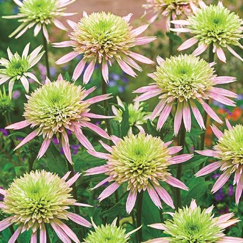 Echinacea Cherry Fluff