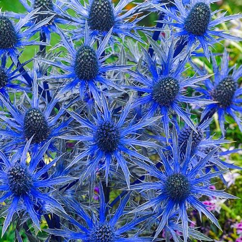 Eryngium Big Blue
