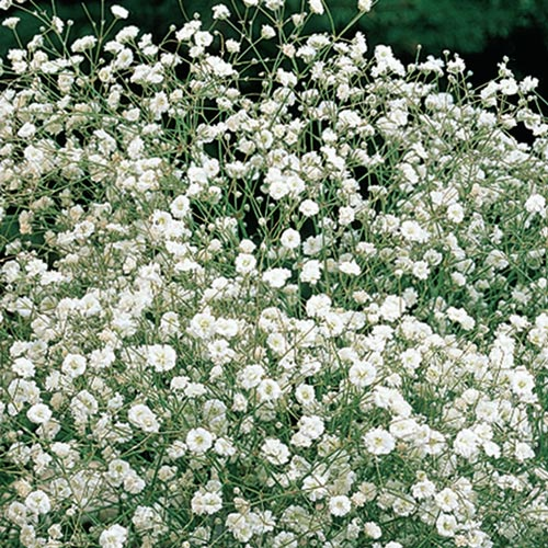 Gypsophila Paniculata White White Babys Breath K Van