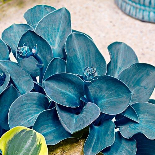 Mini Hosta Blue Mouse Ears K Van Bourgondien