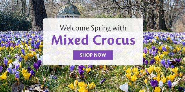 Mixed Crocus