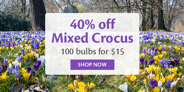 Mixed Crocus