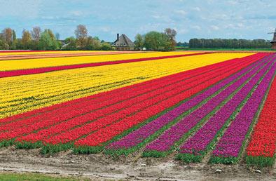 K van bourgondien sons wholesale flower bulbs and perennials tulips mightylinksfo