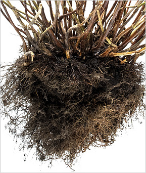shrub root