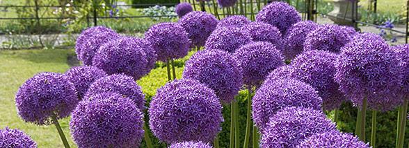Buy Allium Bulbs At K Van Bourgondien Wholesale Flower Bulbs