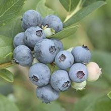 Jubilee Southern Highbush Blueberry