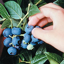 Northblue Dwarf Blueberry