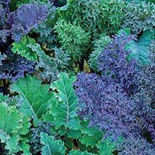 Gurney's® Winter Wonderland Mixed Kale