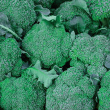 Blue Wind Hybrid Broccoli