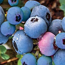 Titan Rabbiteye Hybrid Blueberry