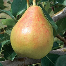 Moonglow Pear