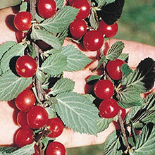 Nanking Bush Cherry