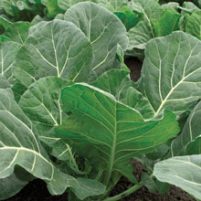 Flash Hybrid Collards