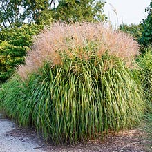 Maiden Ornamental Grass