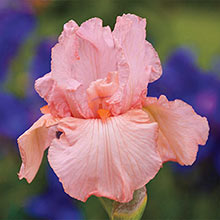 Pink Attraction Reblooming German Iris