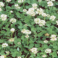 White Dutch Clover Ground Cover