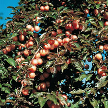 Native Plum