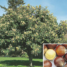 Superior Chinese Chestnut Tree