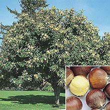 Chinese Superior Chestnut Tree