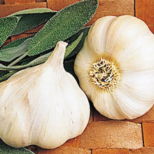 Pioneer Softneck Garlic