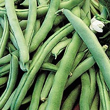 Blue Lake 274 Bush Bean