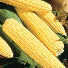 Northern Yellow Xtra-Sweet (sh2) Super-Sweet Hybrid Corn
